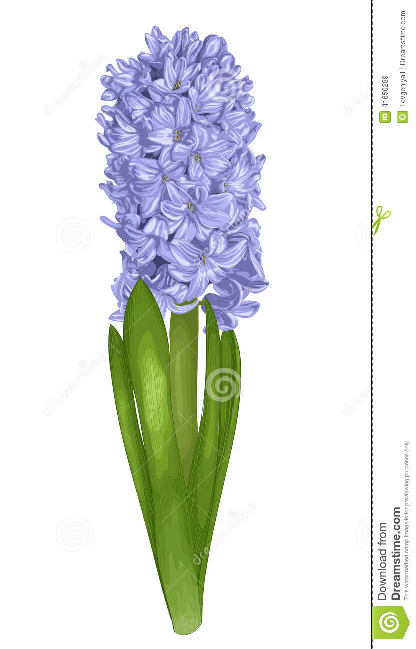 Beautiful Purple Hyacinth With The Effect Of A Watercolor ...