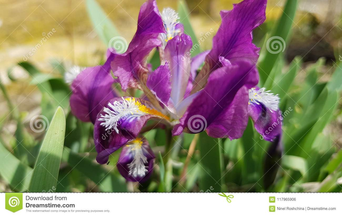 Beautiful Purple Iris Flower Closeup Stock Photo Image Of Petal