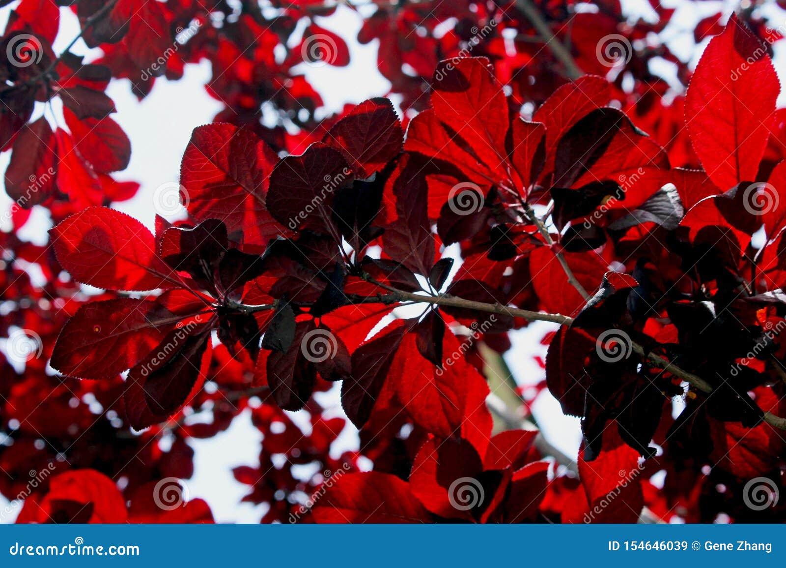 Purple Leaf Sand Cherry Stock Image Image Of Cross 154646039