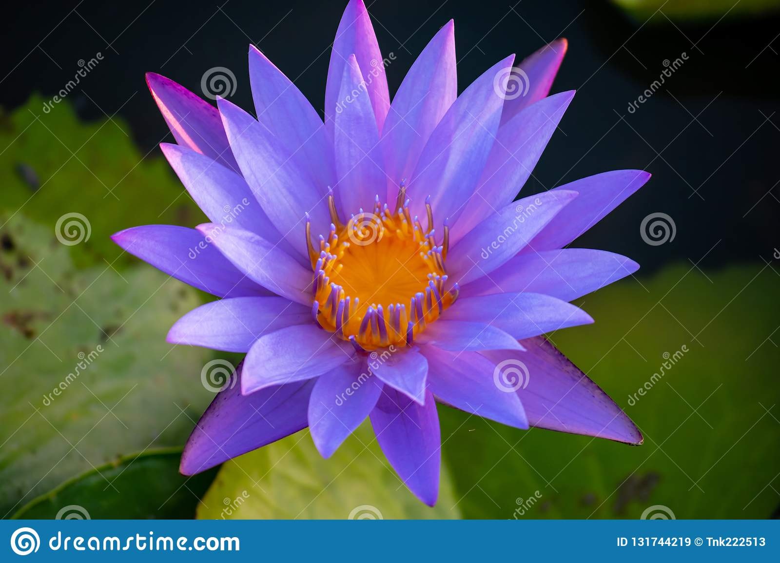 Purple Lotus Flower With Beautiful Sunlight Growing Up In The Garden
