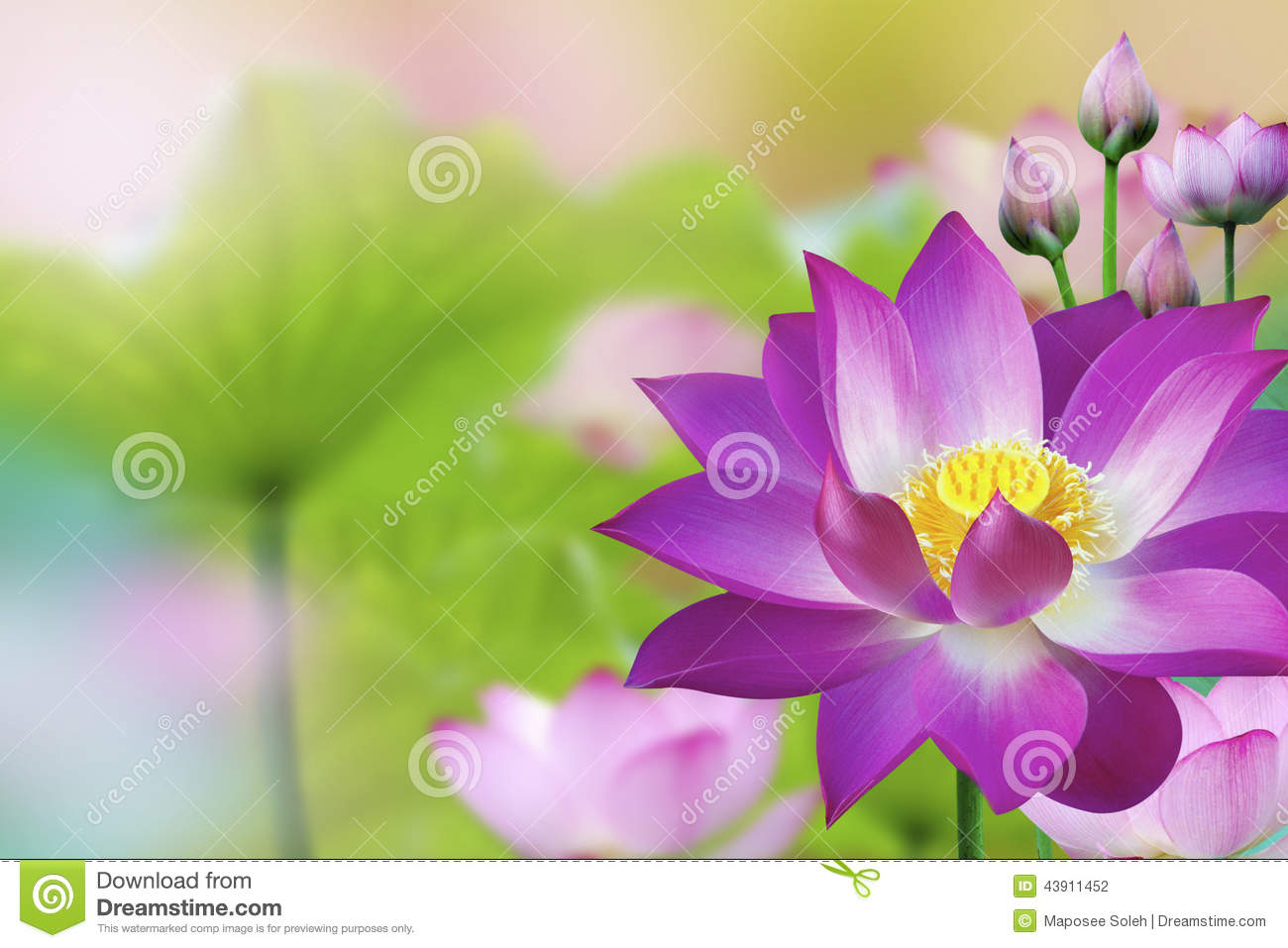 Beautiful Purple Lotus Water Plant Lotus Flower Stock Photo