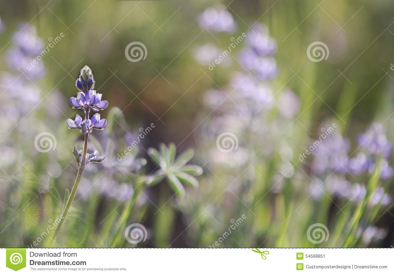 Download A Beautiful Purple Lupine Wildflower. Stock Image - Image of color, colorful: 54568851