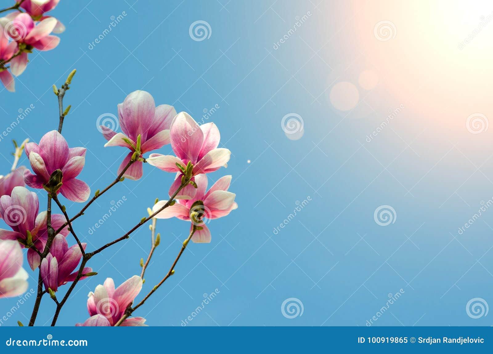 Beautiful purple magnolia flowers blossom in the spring season on download beautiful purple magnolia flowers blossom in the spring season on the tree with blue sky izmirmasajfo