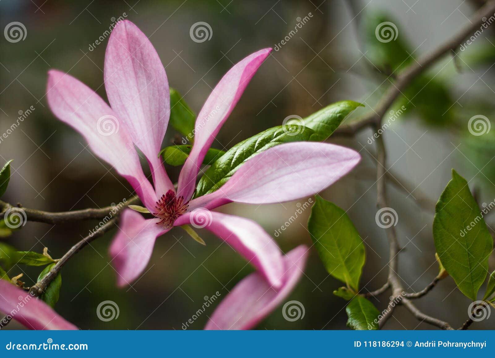 Beautiful Purple Magnolia Flowers In The Spring Season On The