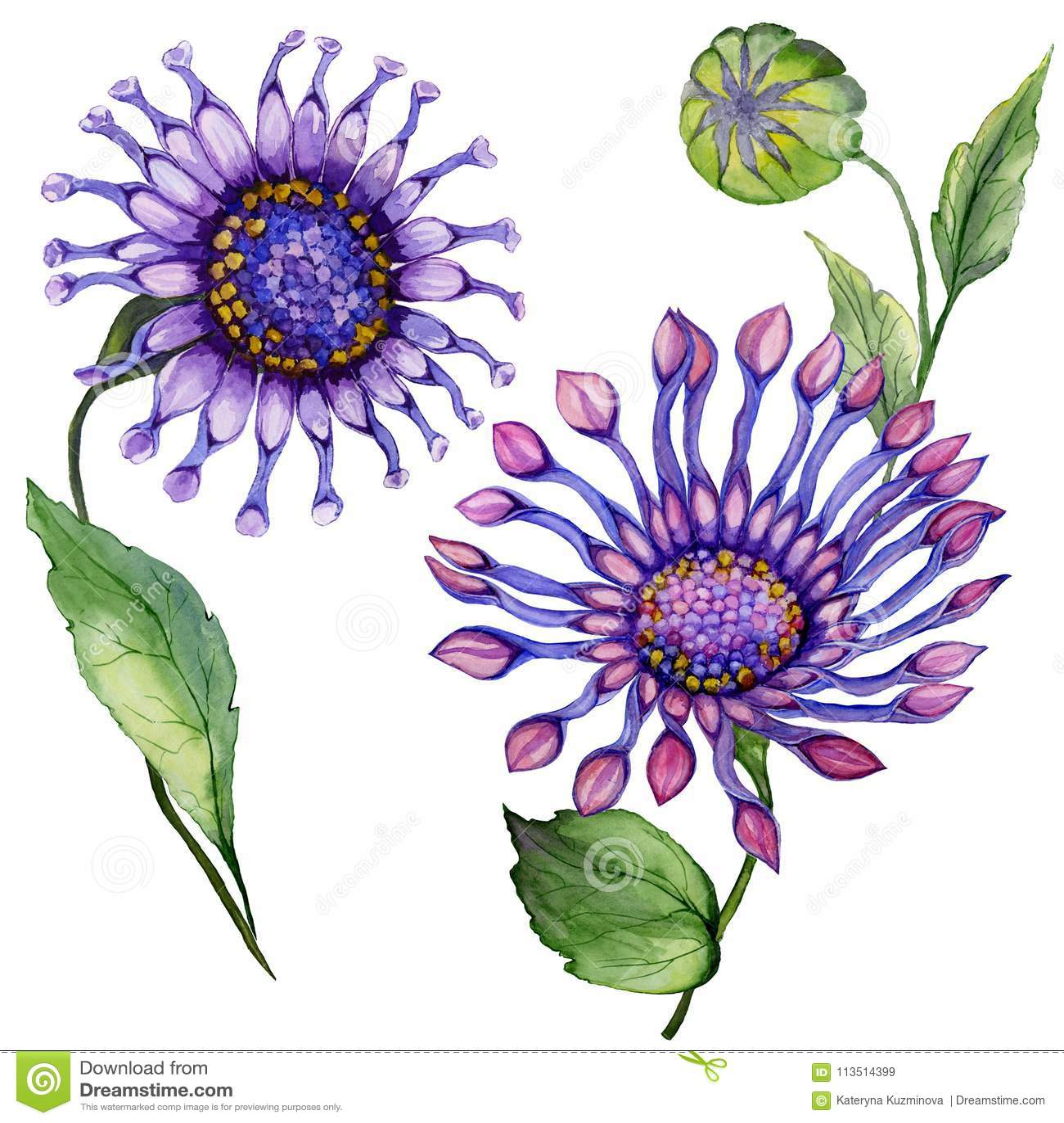 Beautiful Purple Osteospermum South African Daisy Flower On A Stem