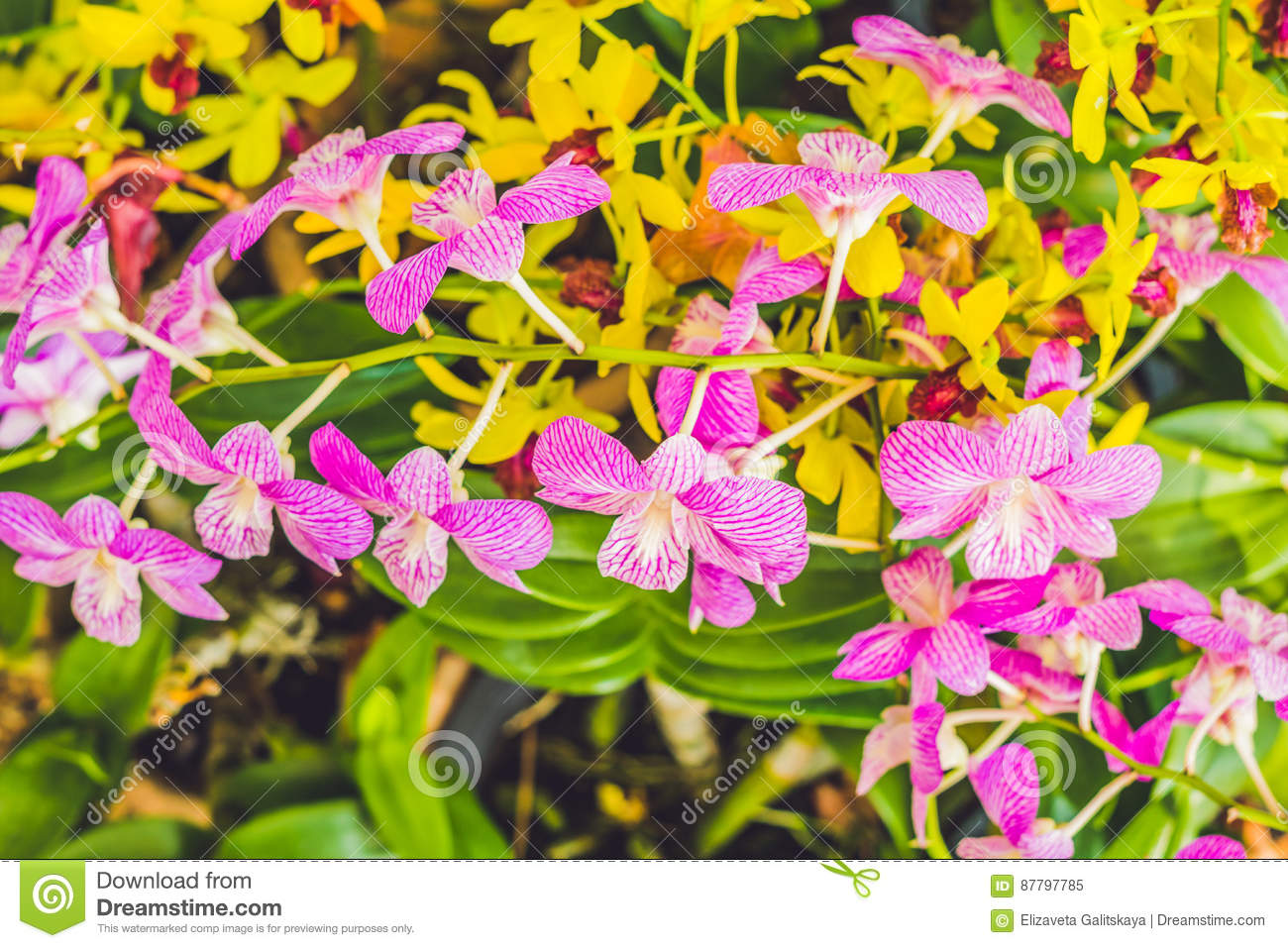 A beautiful purple and pink orchids flower on a branch hanging in download a beautiful purple and pink orchids flower on a branch hanging in the air stock mightylinksfo