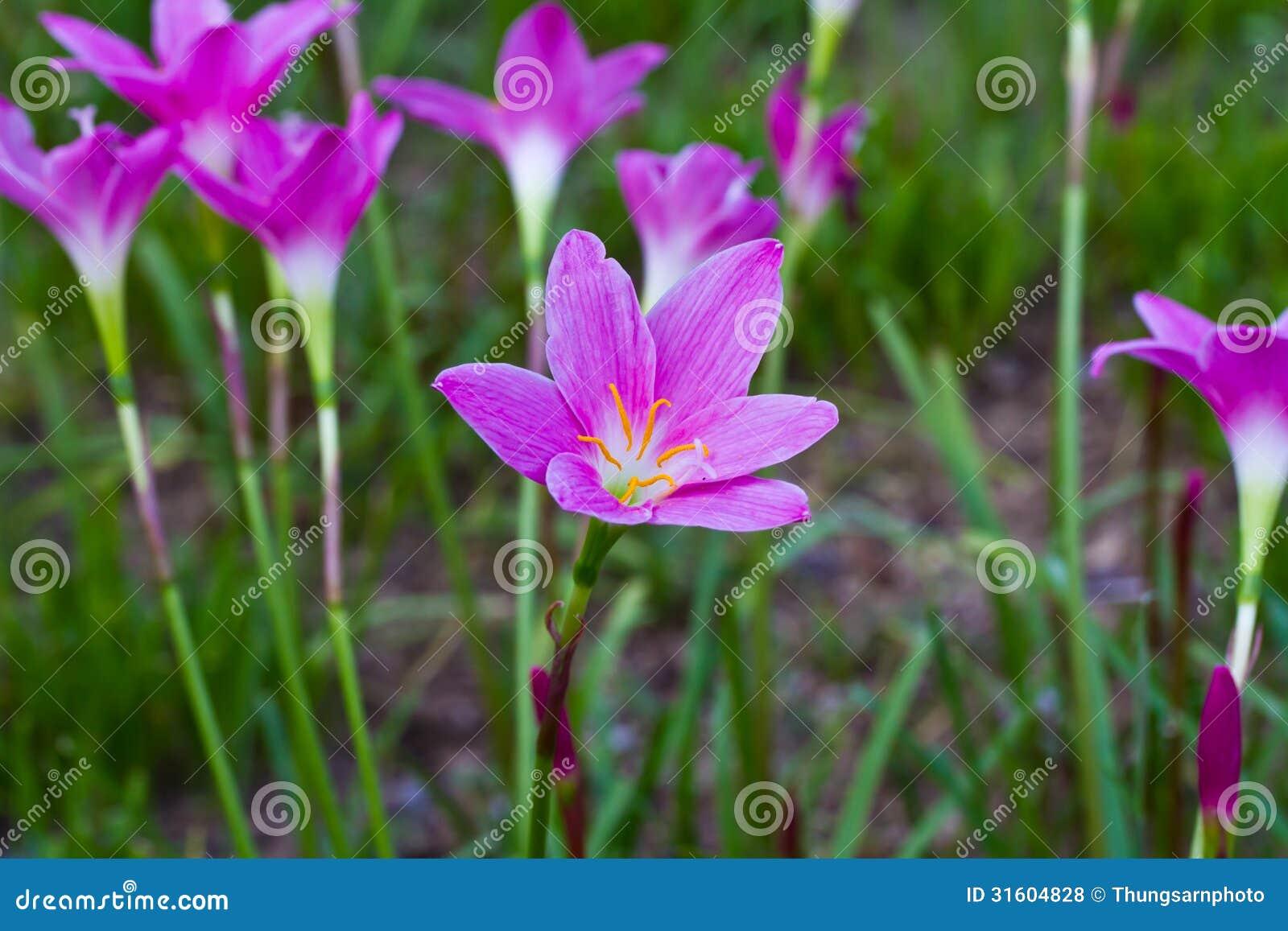 Beautiful purple rain lily flowers stock photo image of plant royalty free stock photo izmirmasajfo Gallery