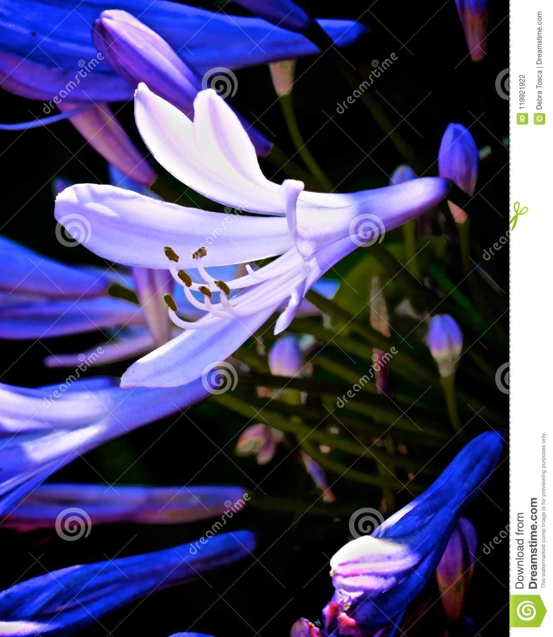Agapanthus African Blue Lily Flower Stock Photo Image Of Blue