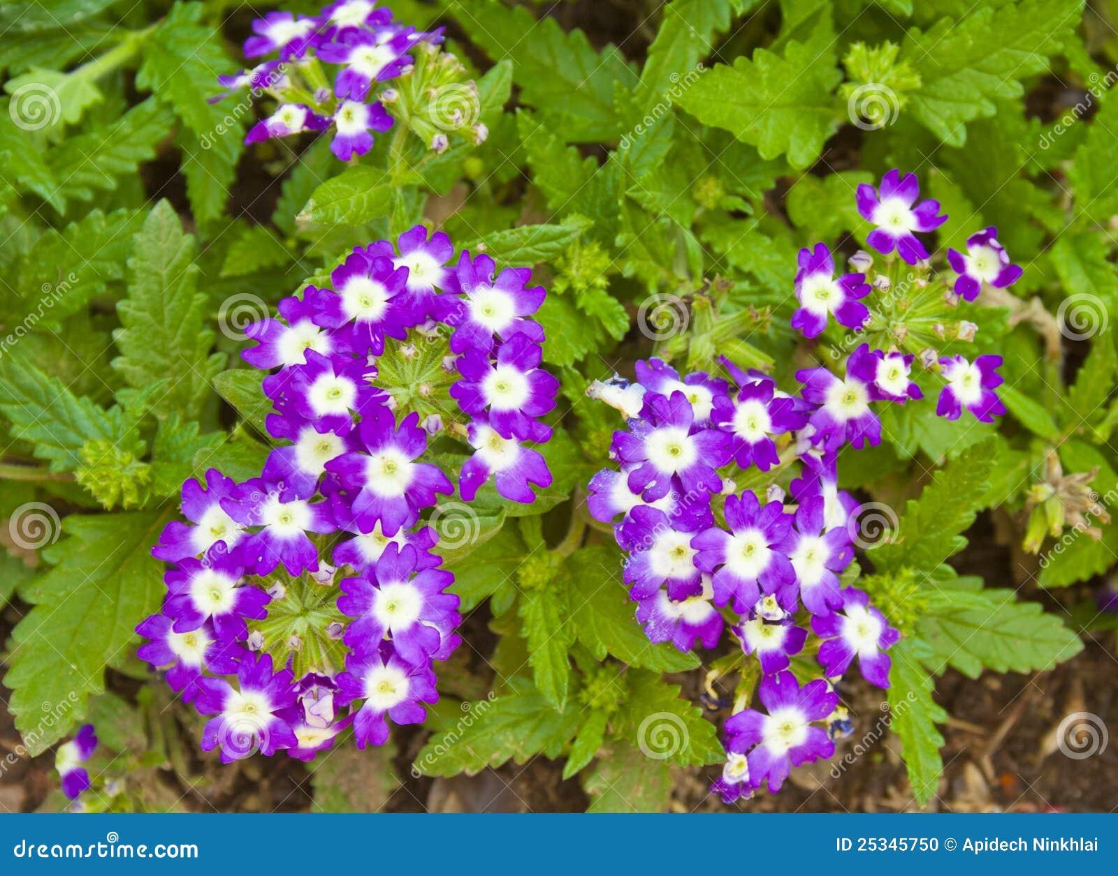 Beautiful Purple Verbena Flowers Stock Image