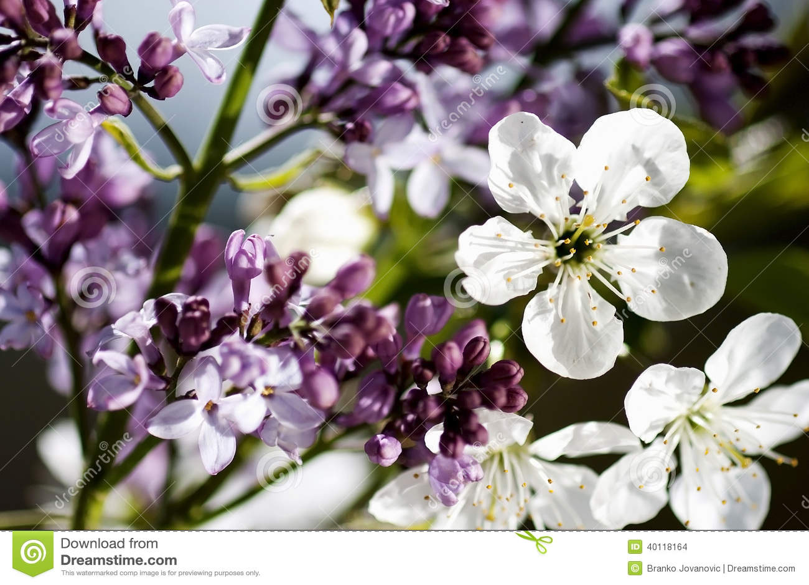 of purple white - photo #35