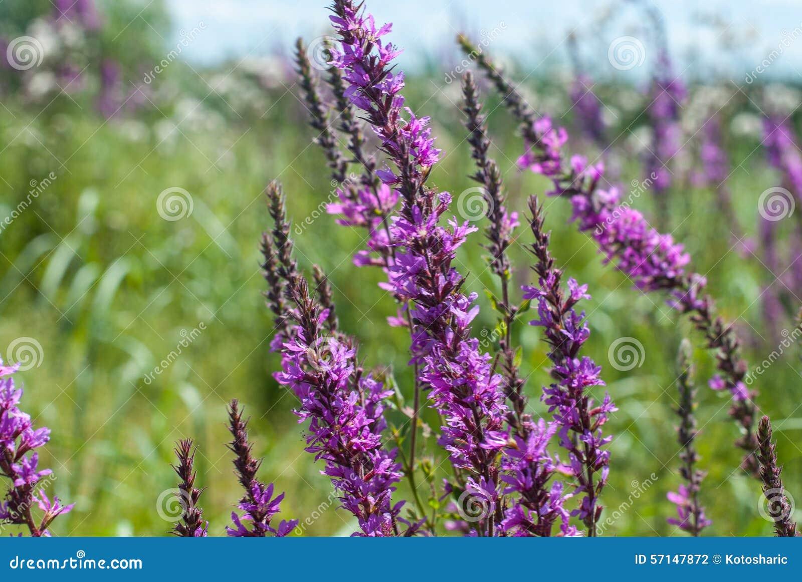 Beautiful Purple Wild Flowers Stock Photo Image Of Foreground