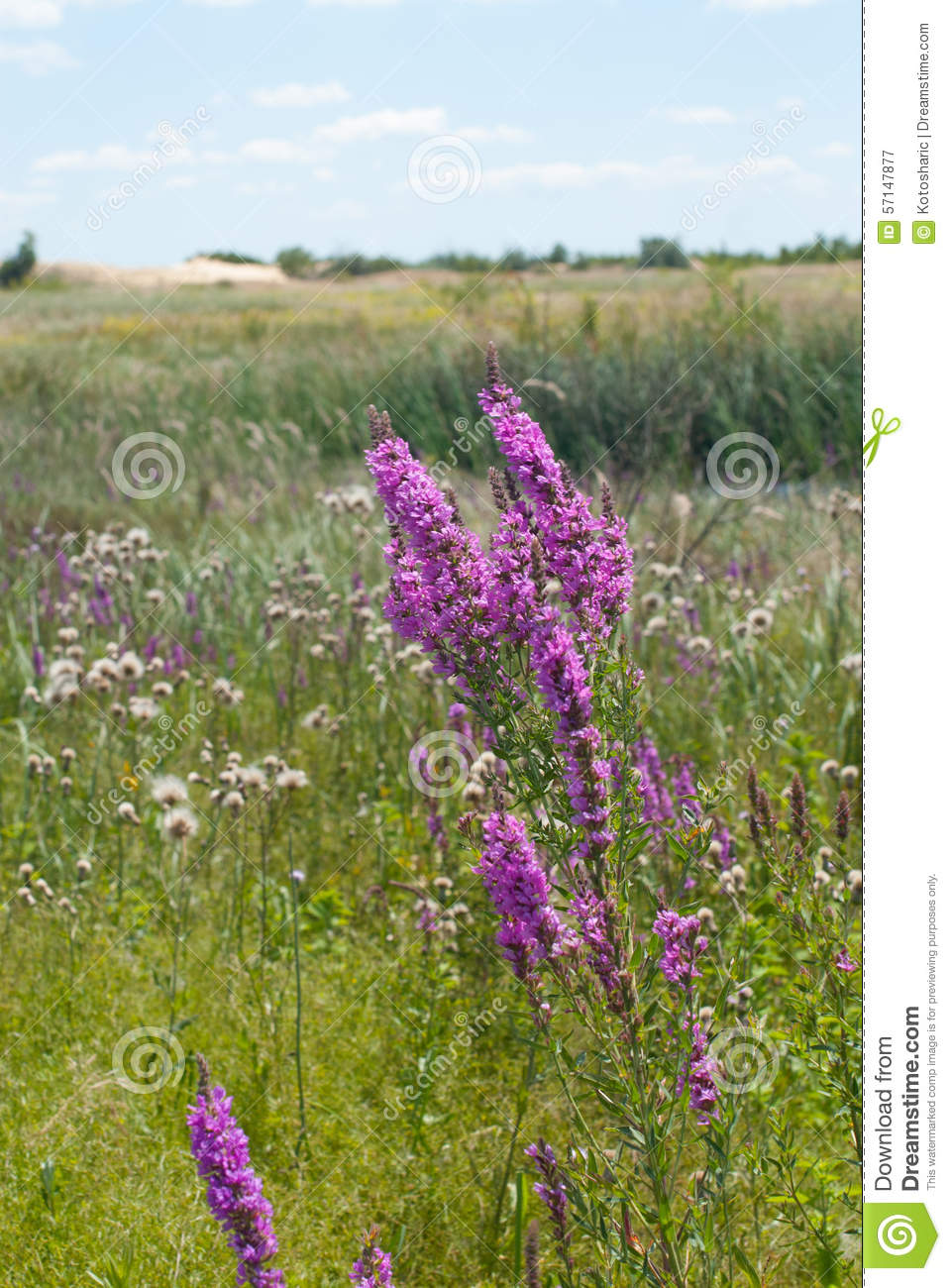 Beautiful Purple Wild Flowers Stock Image Image Of Growth