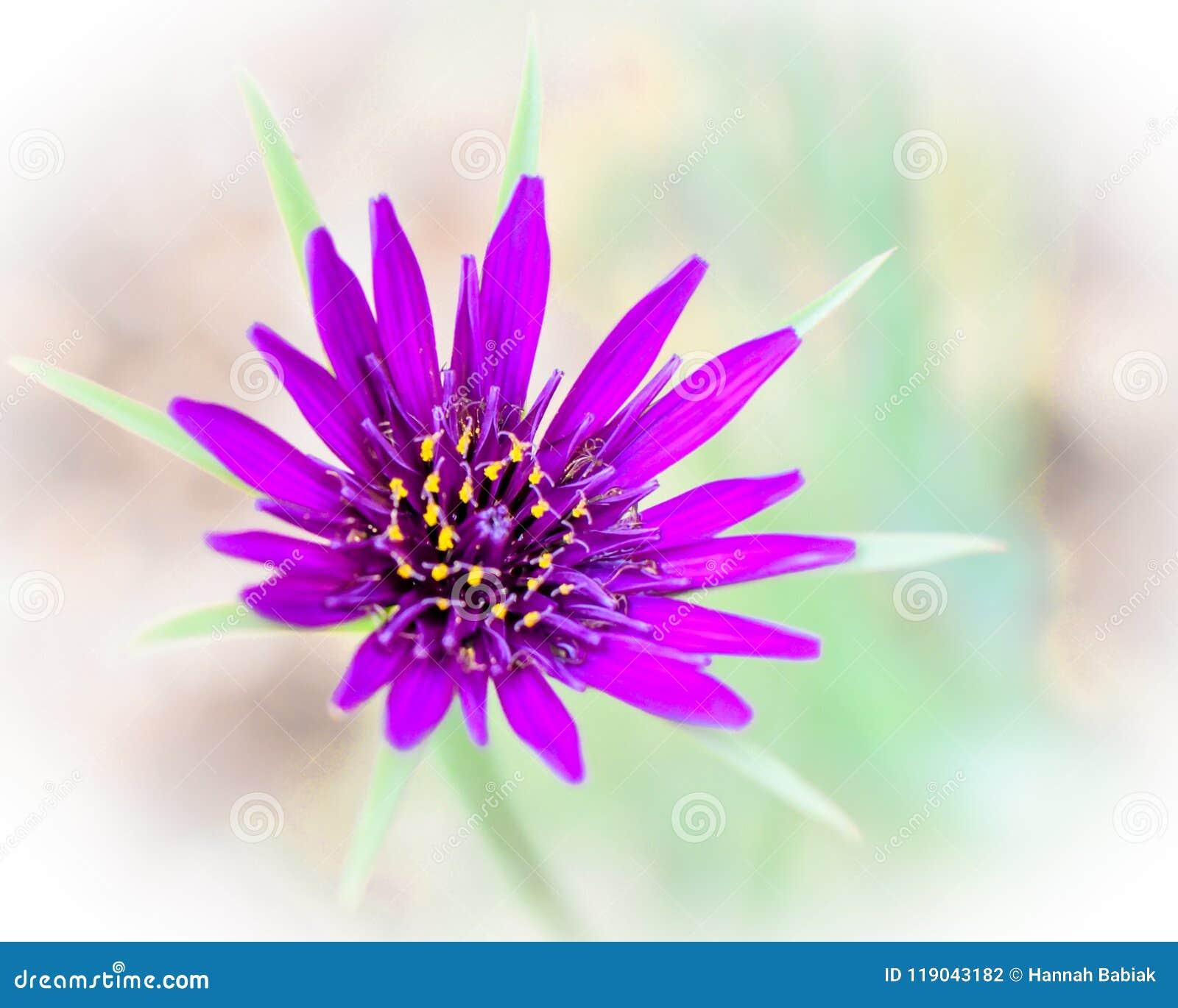 Purple Flower Isolated Wisconsin Wildflower Stock Photo Image Of