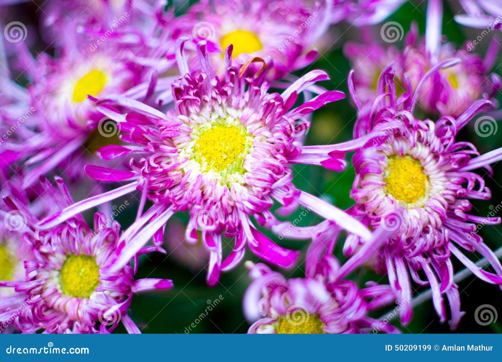 Beautiful Purple Yellow Flowers Blooming In Spring Stock ...