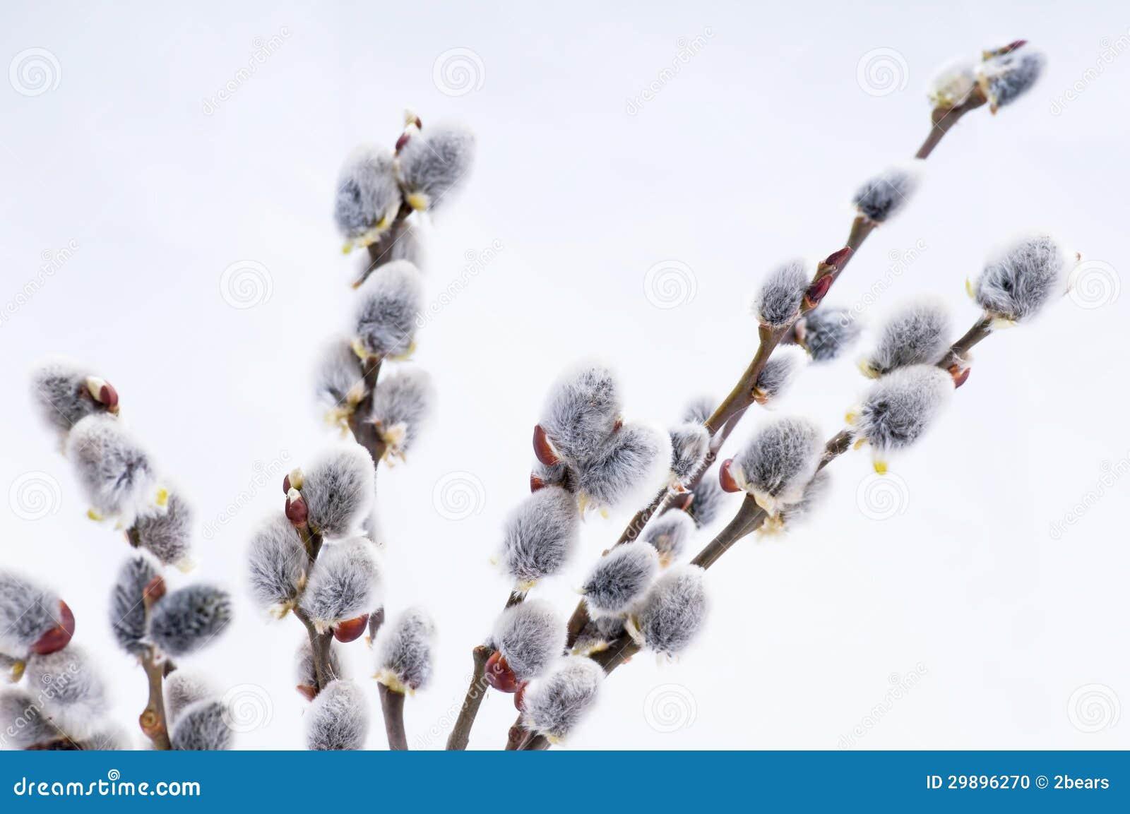 Beautiful willow flowers