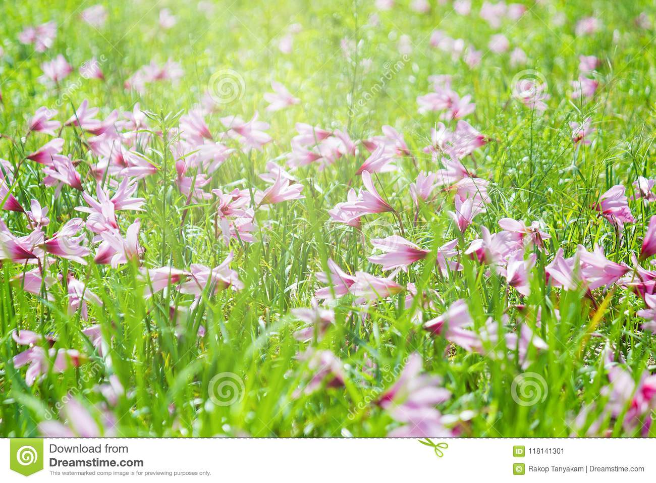 Beautiful Rain Lily Flower Zephyranthes Lily Fairy Lily Little