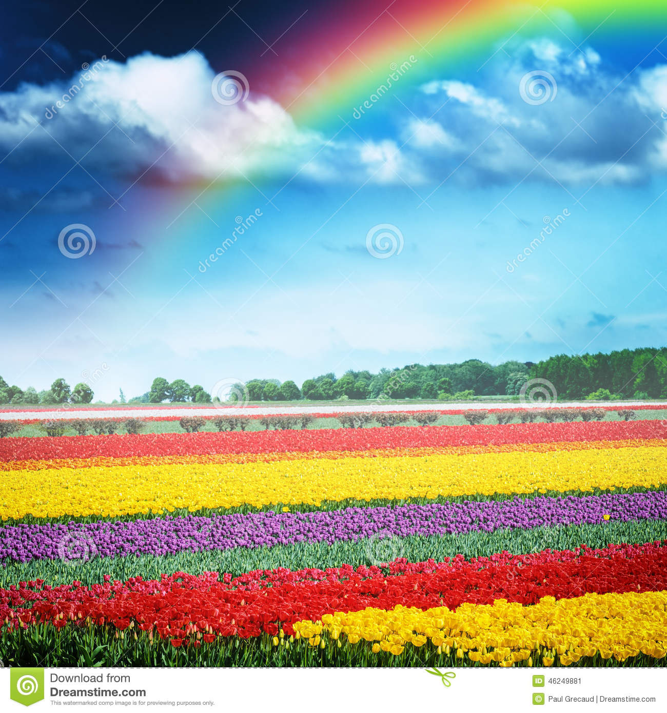 Beautiful rainbow over multicolor tulip field, Holland