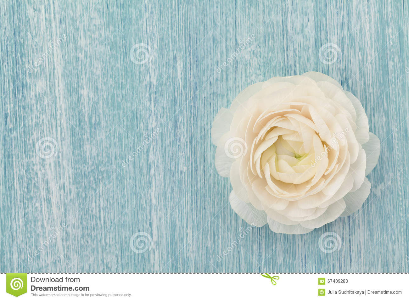 Beautiful ranunculus on blue shabby background, spring flower, vintage card
