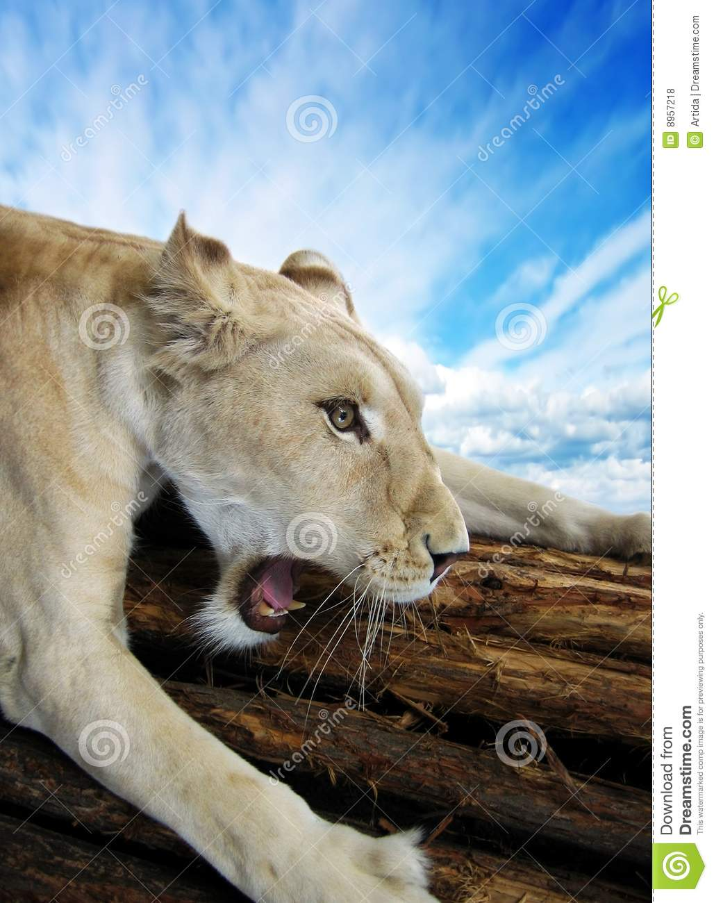 Beautiful rare African white lionesses