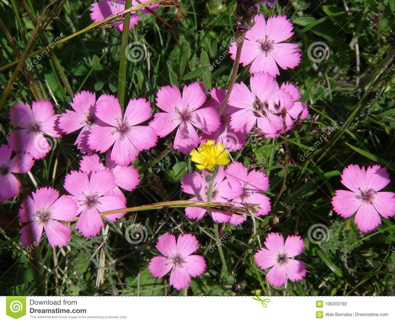 Beautiful Rare Pink Flower In The French Alps Mountain Stock Photo