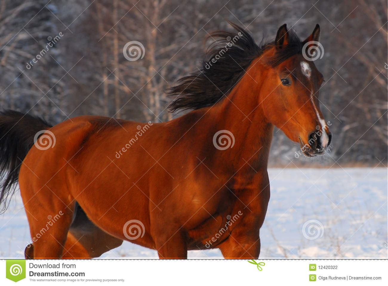 Beautiful Red Arabian Horse On A Snow Field Stock Photo Image Of Head Cold 12420322