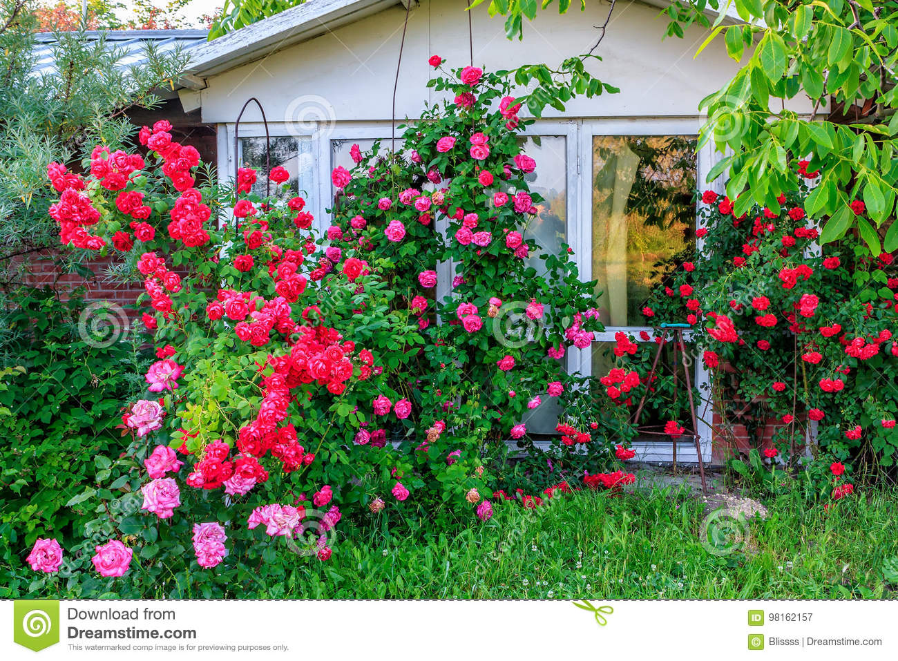 Beautiful Red Blooming Rose Flower Bush In Home Garden At