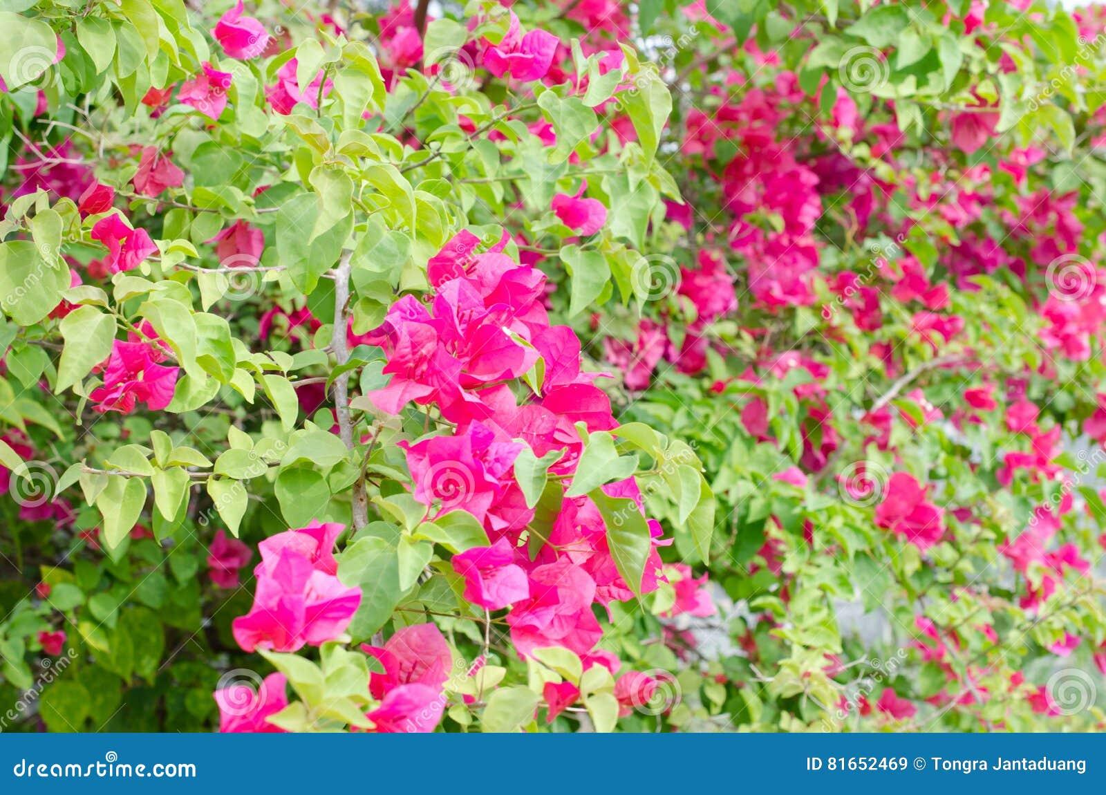 Beautiful Red Bougainvillea Flowers In The Sun In Winter Stock