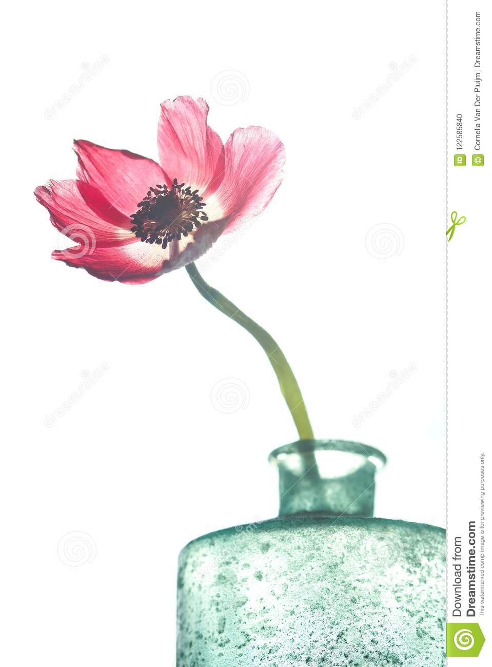 Red Anemone Flower With Long Stalk Stock Photo Image Of Blossom