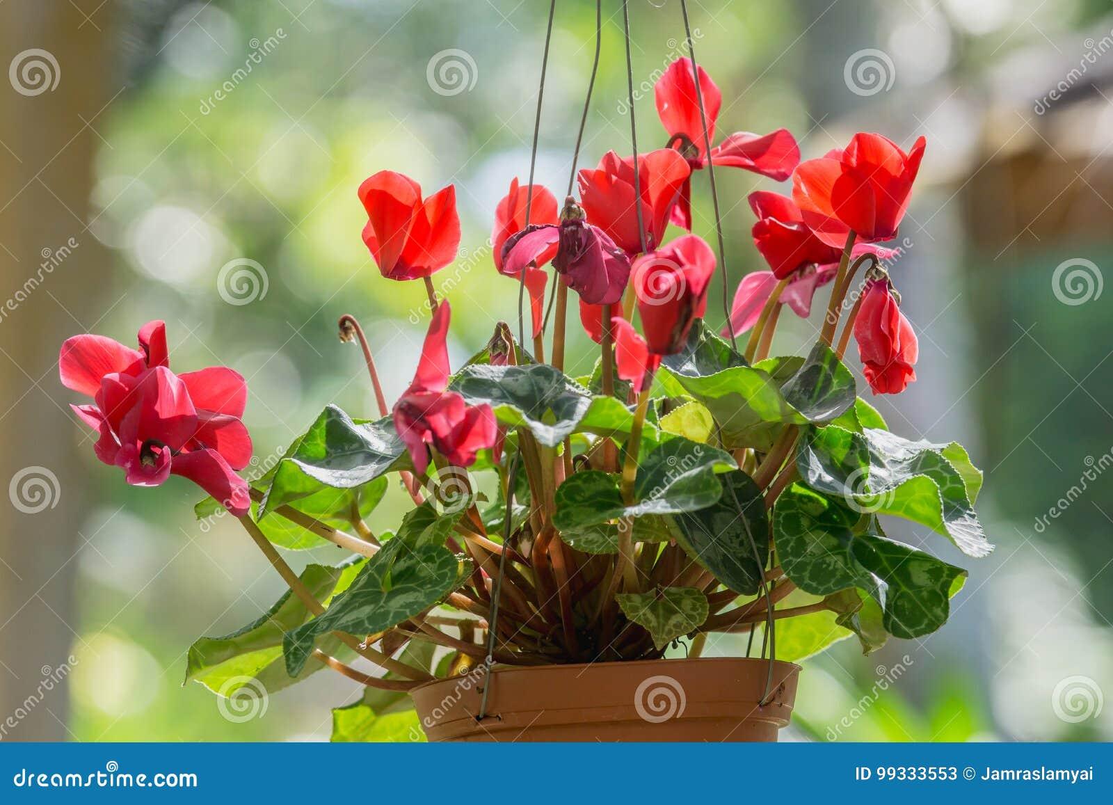 Beautiful red cyclamen flowers is winter flowers cyclamen persicum download beautiful red cyclamen flowers is winter flowers cyclamen persicum hang it in a pot izmirmasajfo