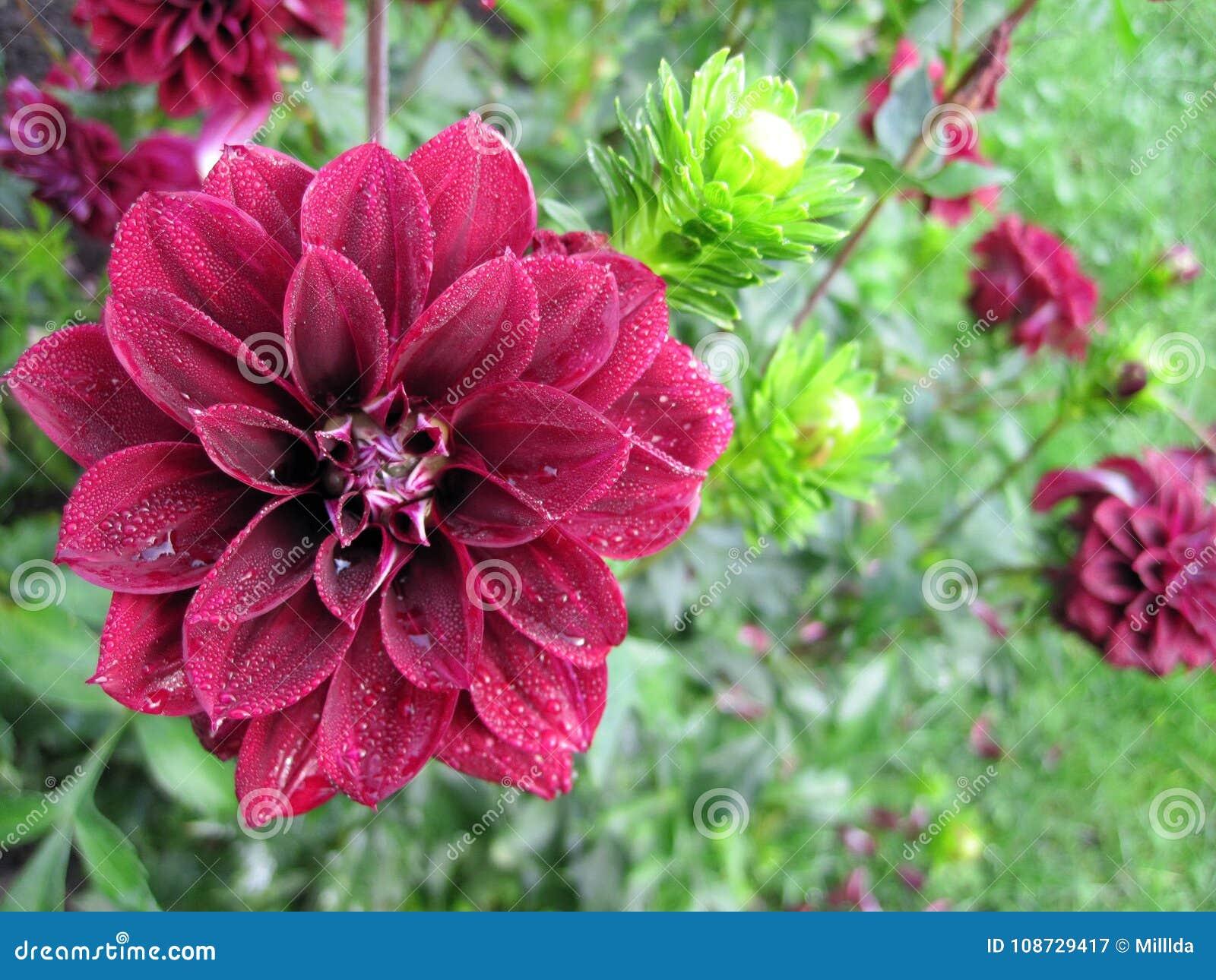 Red Dahlia Flower In Garden Stock Image Image Of Nice Garden