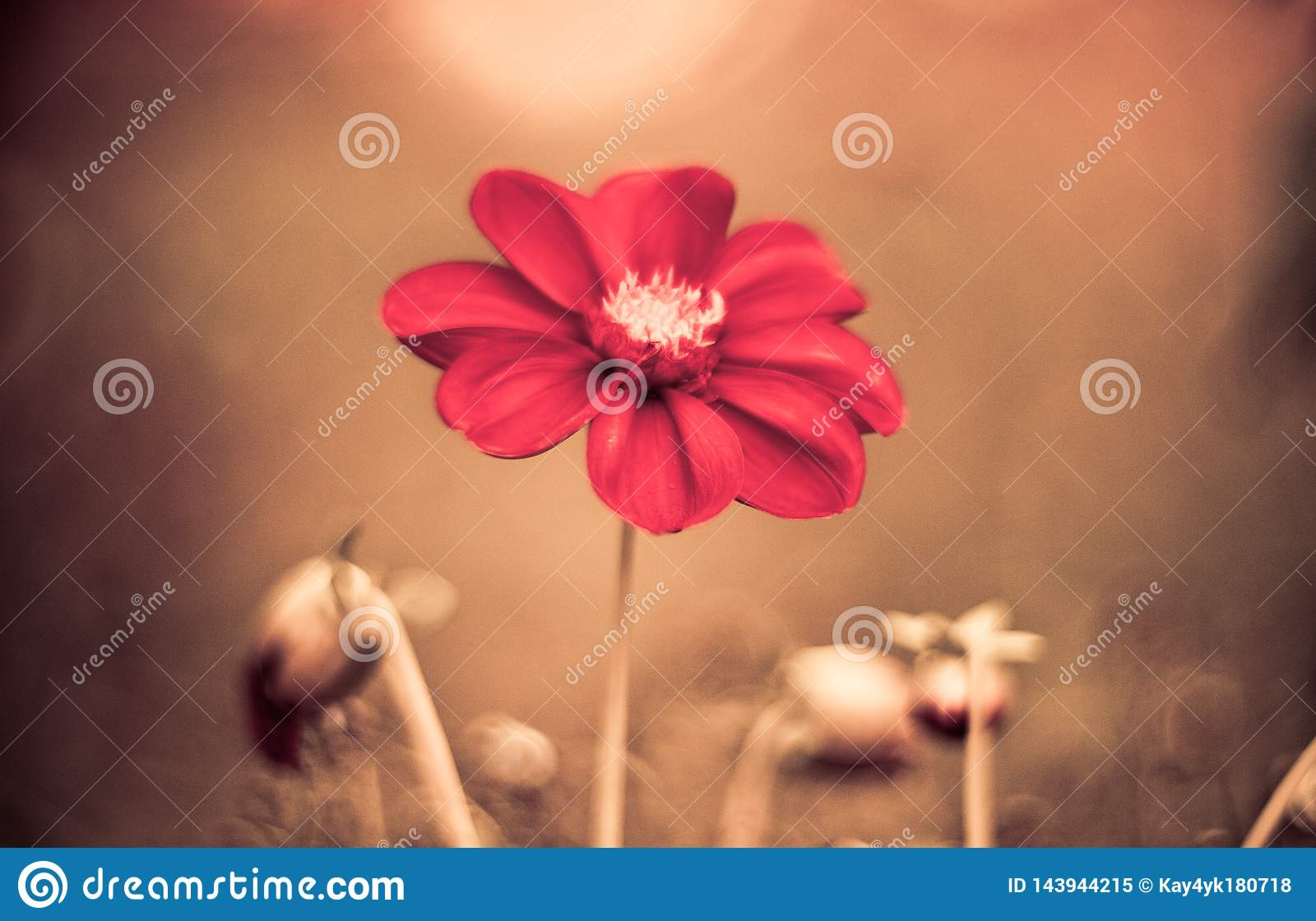 Beautiful red daisy flower slowly spinning on a rotating brown background. Top view