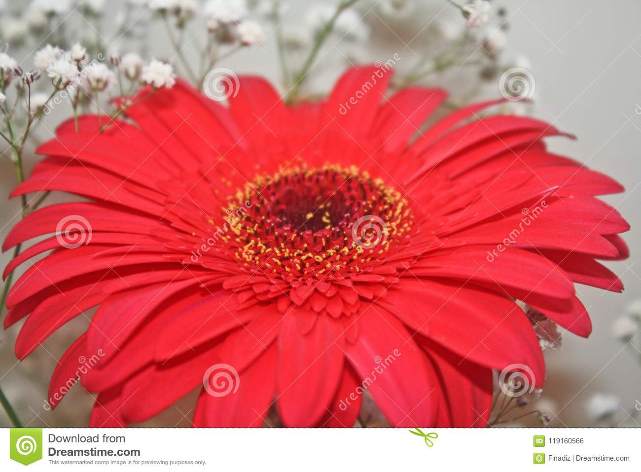 Flowers and colors beautiful red daisy stock photo image of flowers and colors beautiful red daisy izmirmasajfo