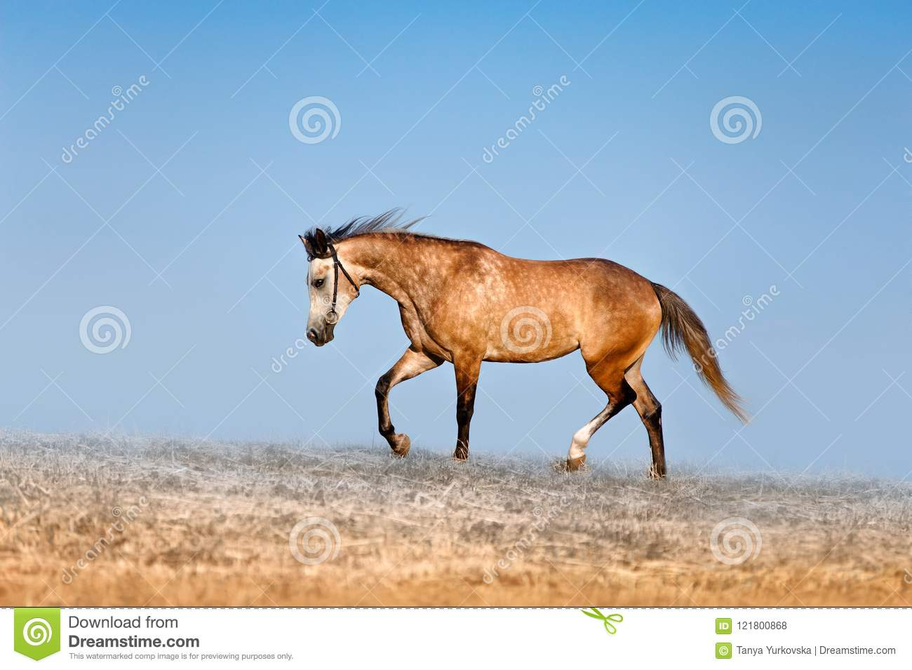 Beautiful red-dappled mare galloping across the field on a background of blue sky.