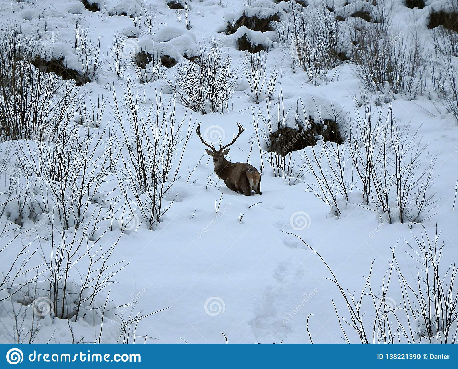 Beautiful red deer in snow covered winter landscape