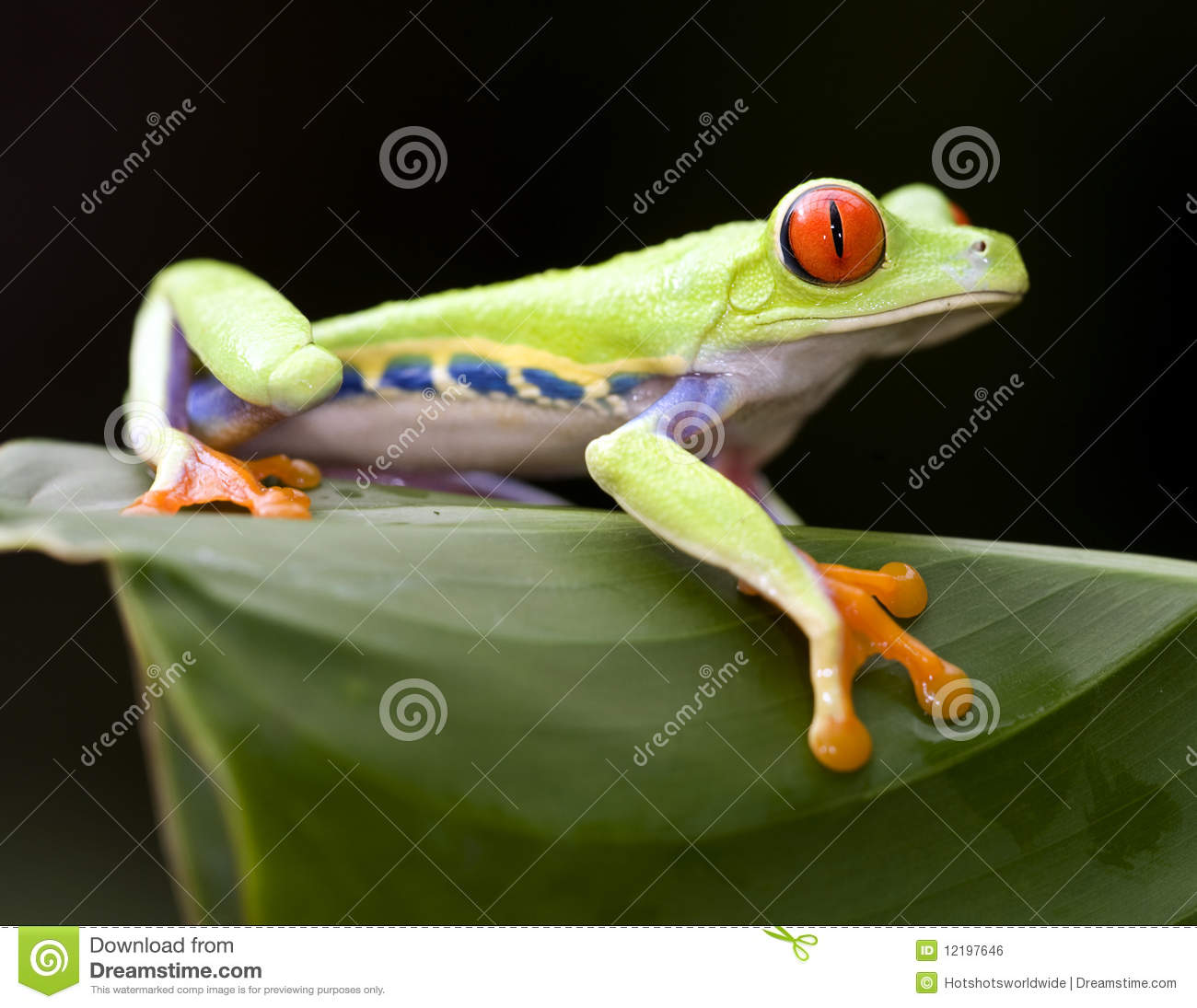 Beautiful Red Eyed Green Tree Frog, Costa Rica Stock Photo - Image ...