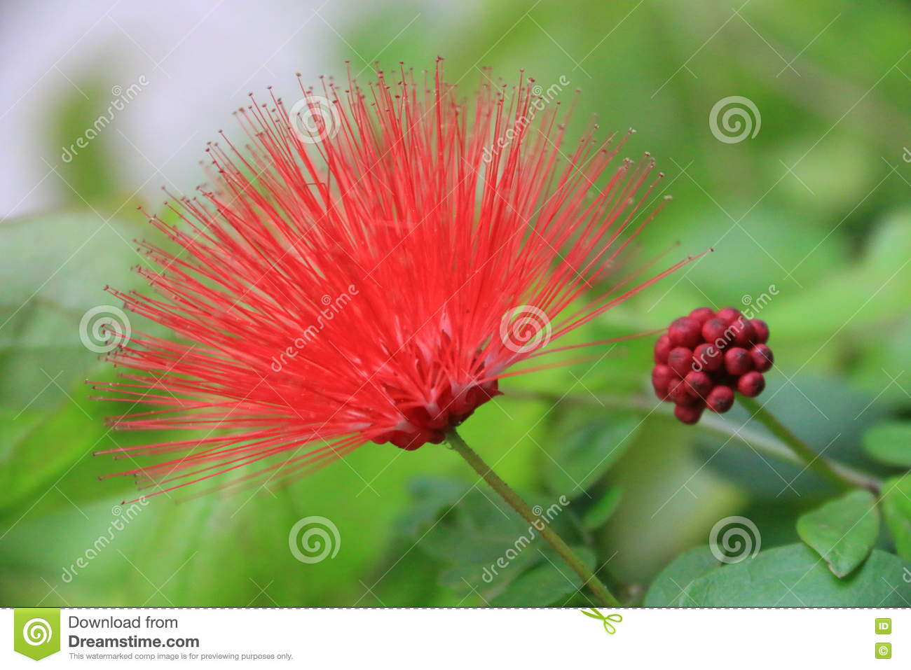 Beautiful Red Flower Stock Photo Image Of Flowers Flower 78235386