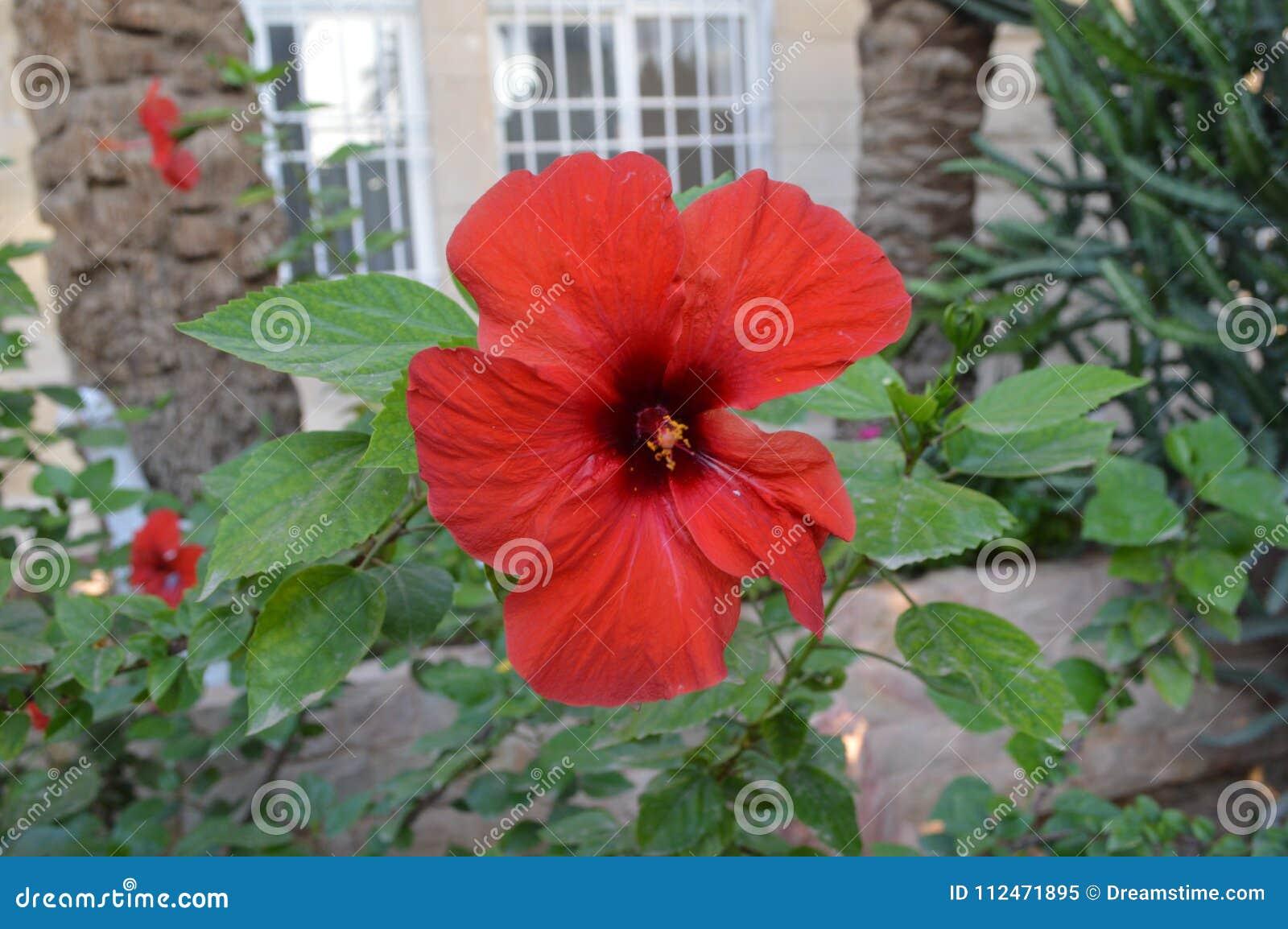 A beautiful red flower in a village garden stock image image of a beautiful red flower in a village garden izmirmasajfo