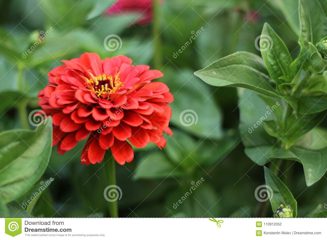 Beautiful red flower with a yellow center stock photo image of beautiful red flower with a yellow center mightylinksfo