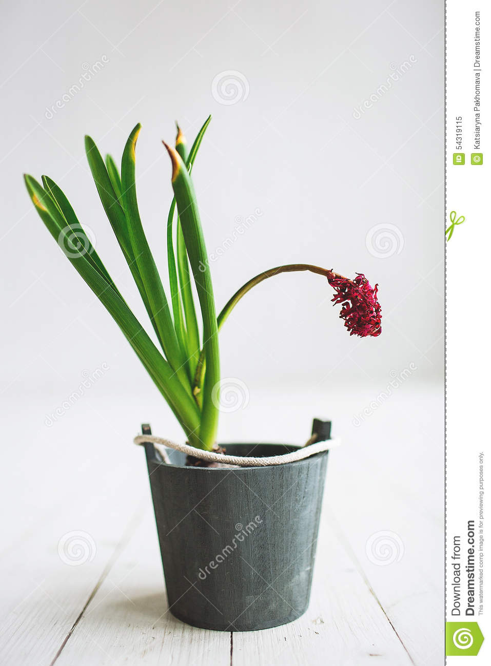 Beautiful Red Flowers In A Bucket On Wooden Background ...