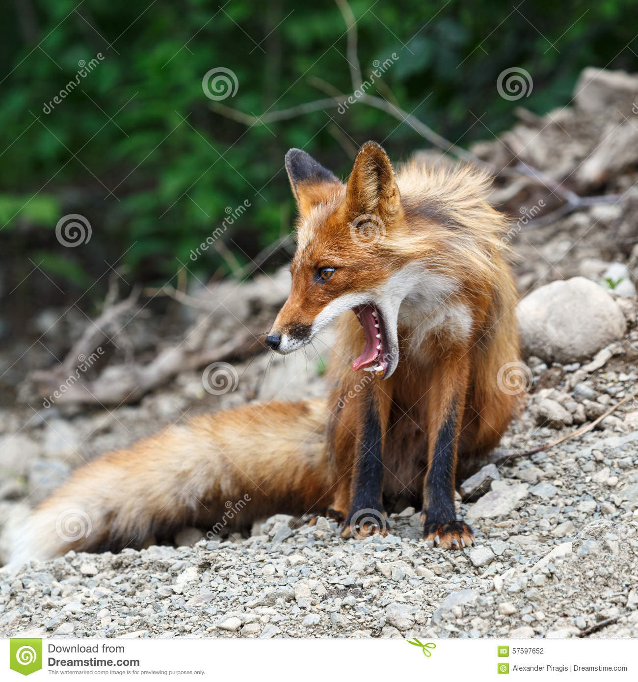 Beautiful red fox with open mouth stock photo image for Portico anteriore a trave aperta