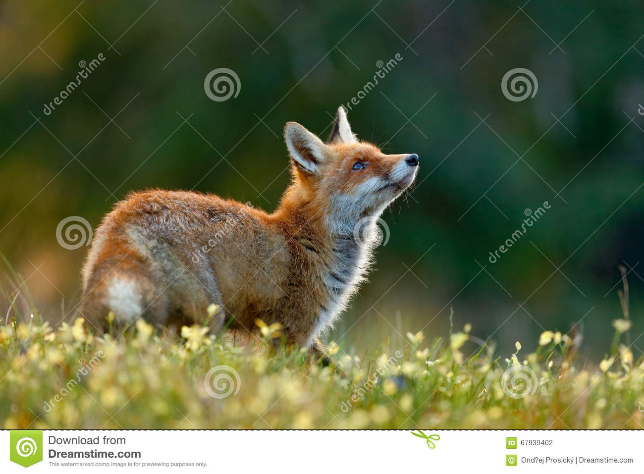 Beautiful Red Fox Vulpes Vulpes At Green Forest With Flowers Stock