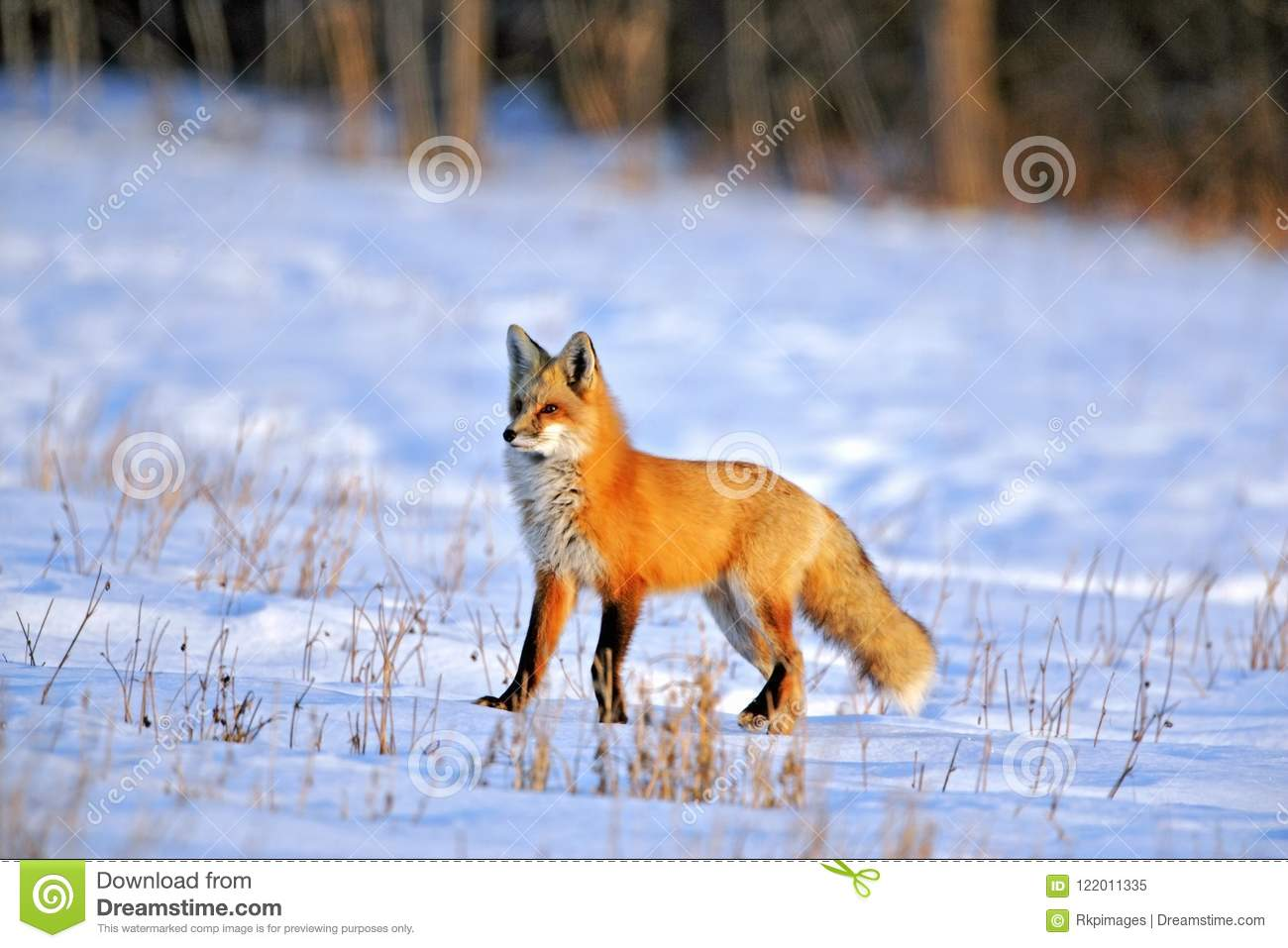 Red Fox in prime winter coat hunting in snowy field on late winter day.