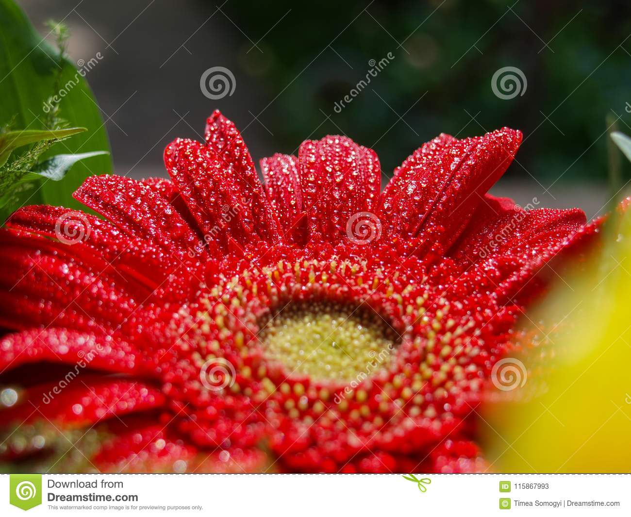 Download Beautiful Red Gerbera With Glittering Water Drops. Stock Image - Image of green, closeup: 115867993