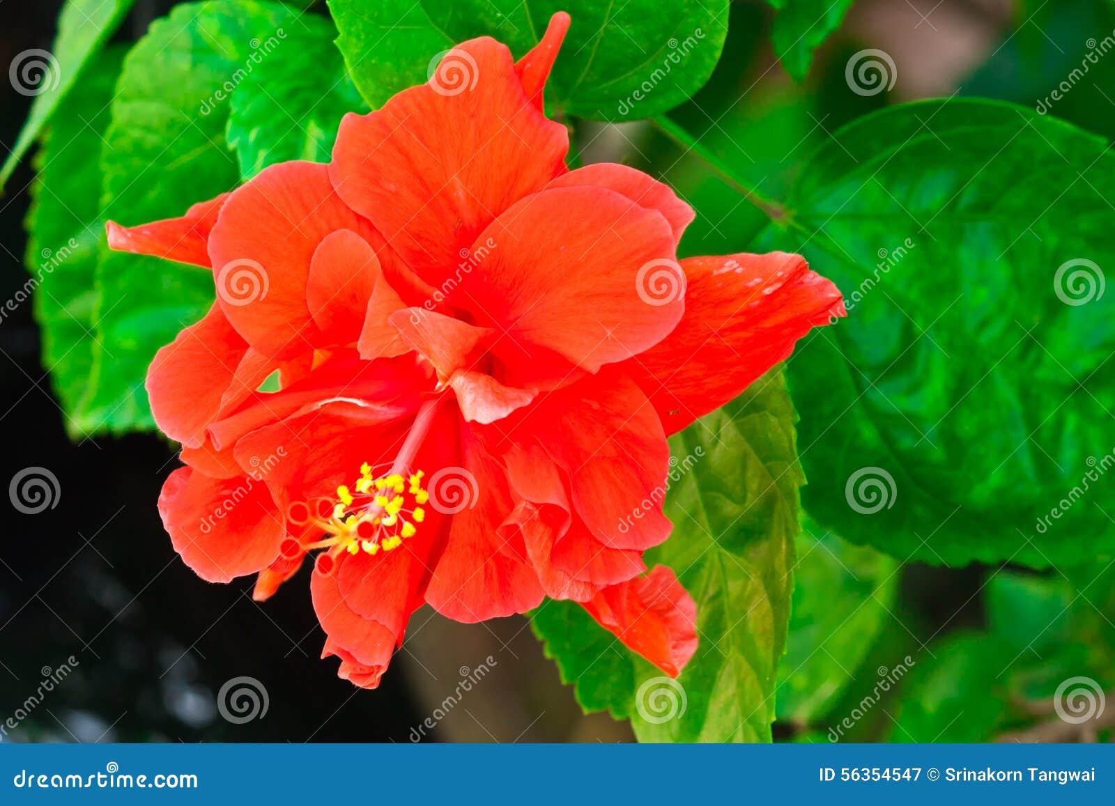 Beautiful red hawaiian hibiscus flower stock image image of download beautiful red hawaiian hibiscus flower stock image image of hibiscus delicate 56354547 izmirmasajfo