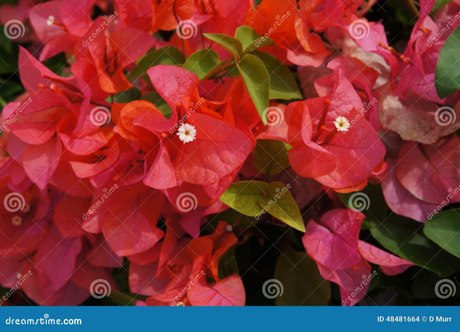 Beautiful red hawaiian island flowers stock photo image of leaves beautiful red hawaiian island flowers izmirmasajfo
