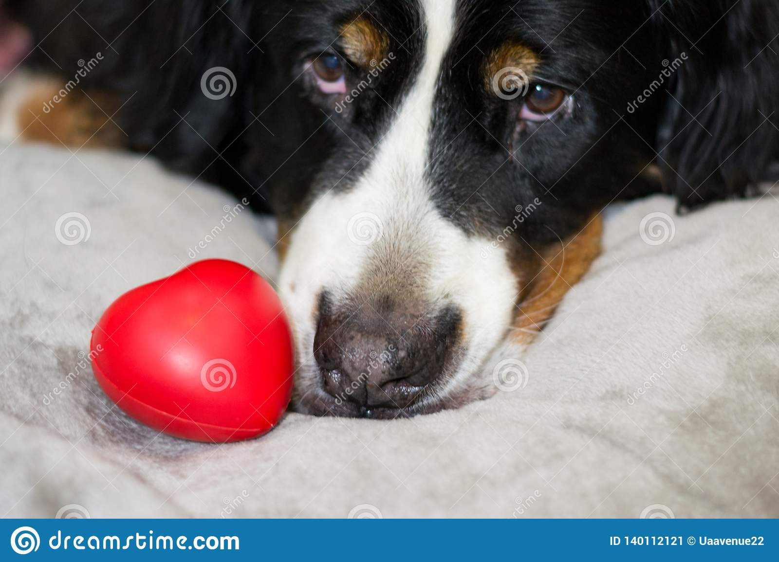 Beautiful red heart is lying near face od Bernese Mountain dog. The best surprise for Valentine`s day and international Women`s