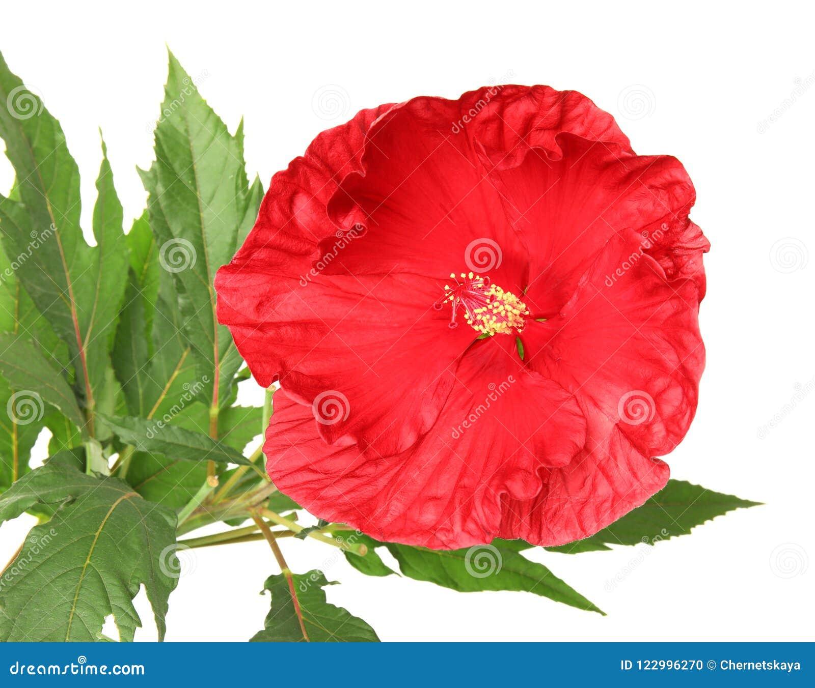 Beautiful red hibiscus flower stock photo image of chinese green download beautiful red hibiscus flower stock photo image of chinese green 122996270 izmirmasajfo