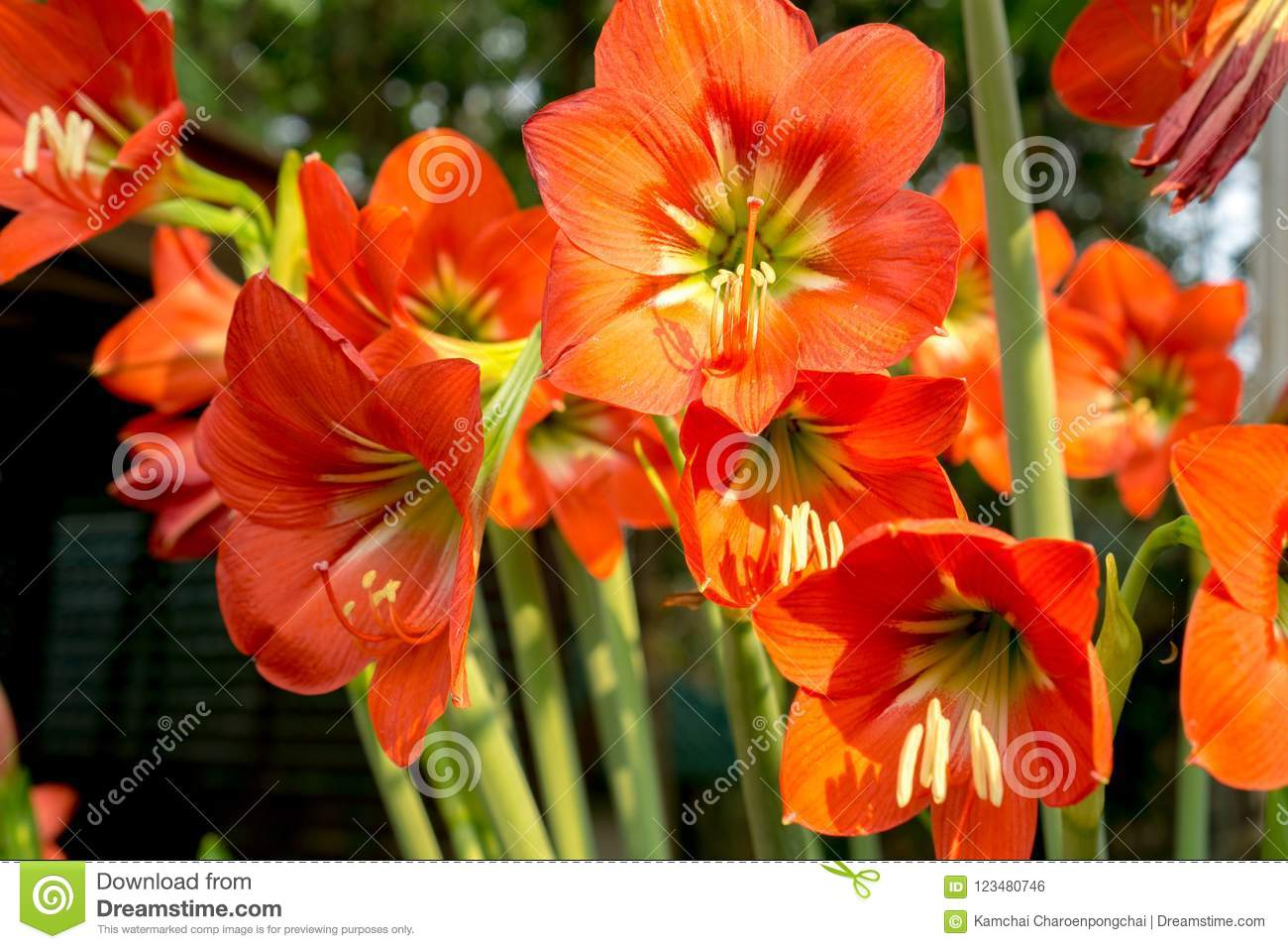 Beautiful Red Hippeastrum Or Knights Star Lily Flowers Stock Photo