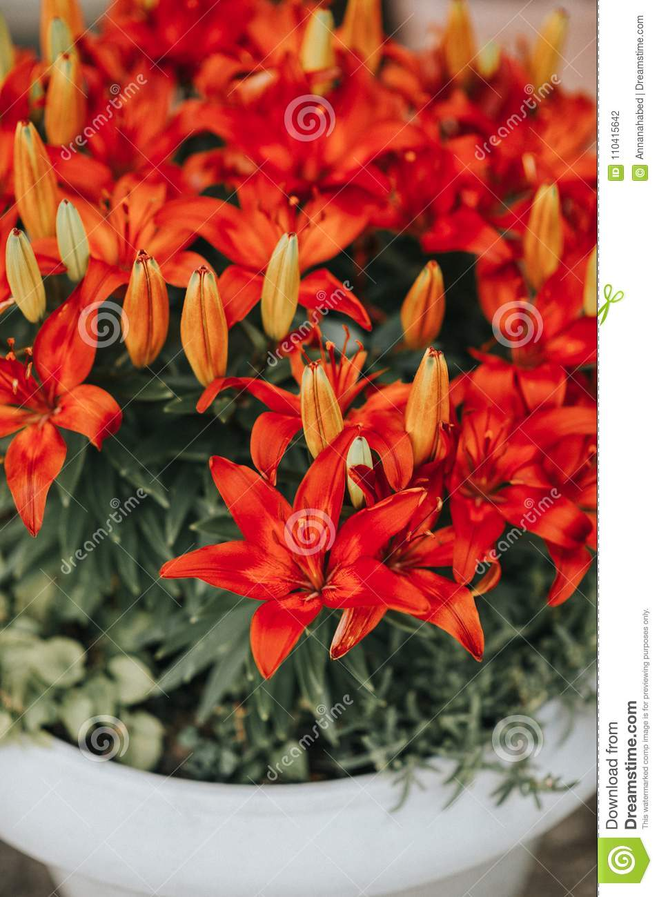 Beautiful red lily flowers stock photo image of green 110415642 download beautiful red lily flowers stock photo image of green 110415642 izmirmasajfo