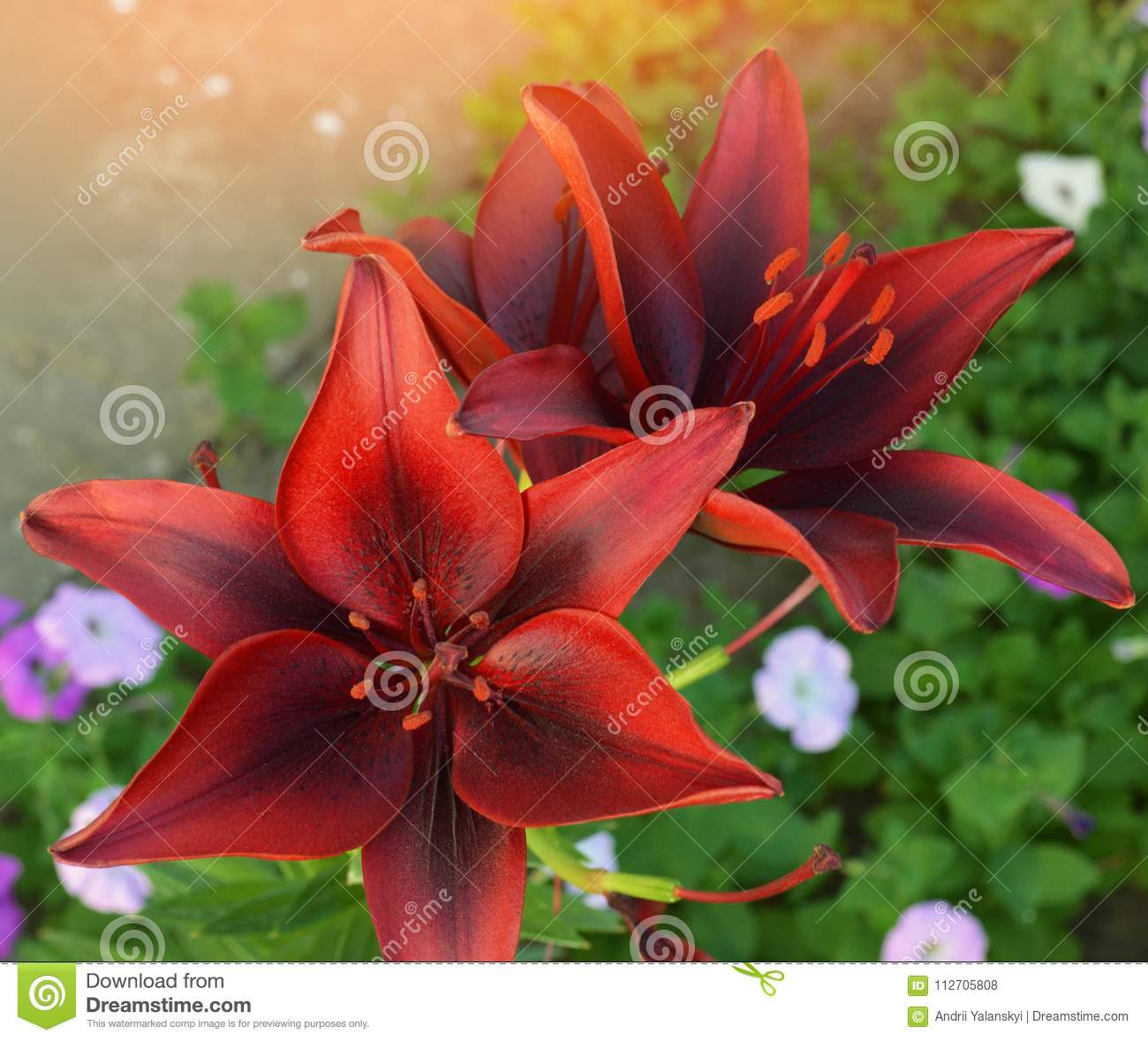 Beautiful Red Lily Flowers In The Garden Nature Wallpapers Summer